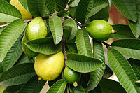 guava-leaves-herbal-recipes-for-diarrhea